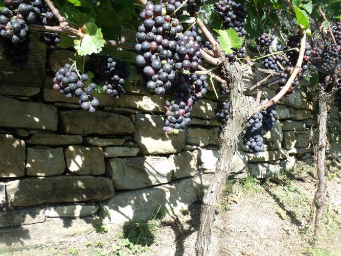 Valdepol Vigna Corletta Uva Pinot Nero Matura