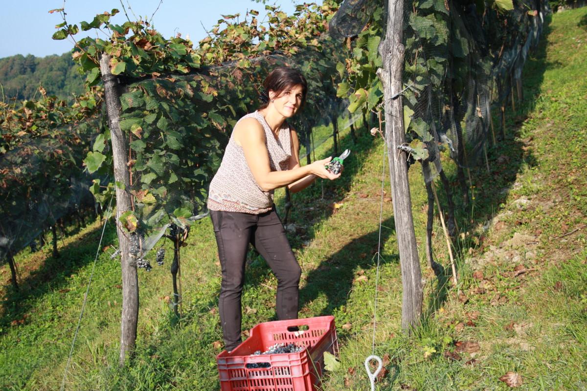 Katja Raccolta dell'uva 2020 pinot nero valdepol